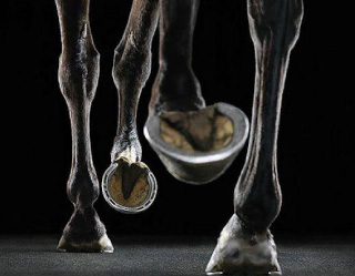 lameness services | horse hooves